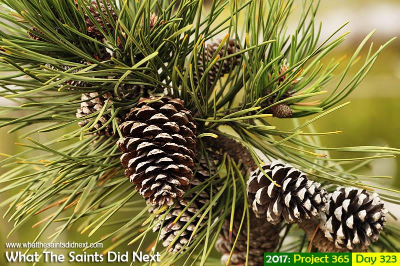 'Young Havana thug'<br /> 19 November, 2017, 16:09 - 1/160, f6.3, ISO-200<br /> Maritime pine cones.