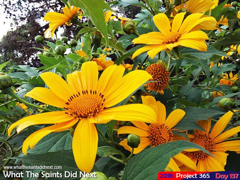 Sun flowers in bloom at Gordon's Post.