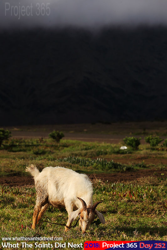 A goat grazing on green grass.