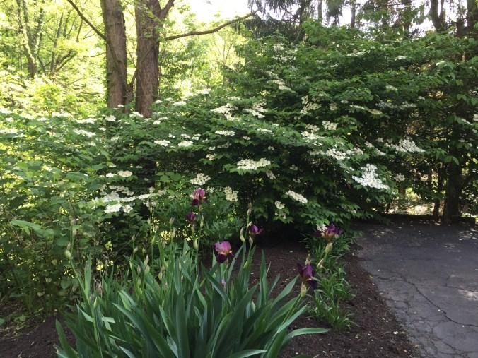 Chez Stewart Viburnum and Irises