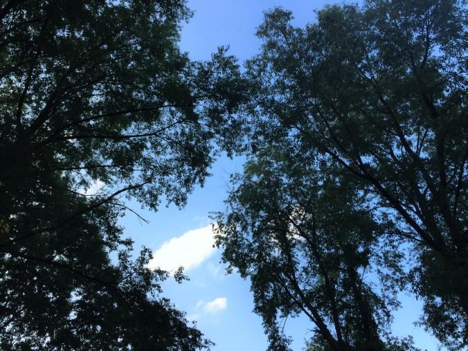 Under the spreading Wild Cherry Trees