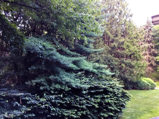 white pine and blue spruce