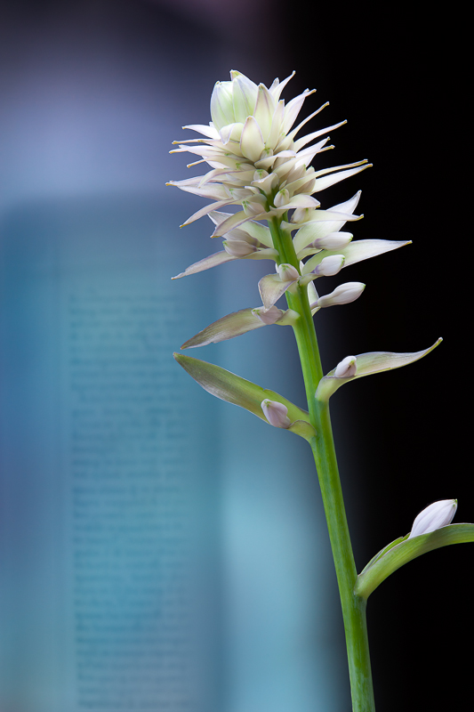"""""""Hosta, 2011"""" Epson Ultrachrome print from the series """"Still/Life"""" by Olivia Parker (courtesy of the artist and Robert Klein Gallery, Boston)"""