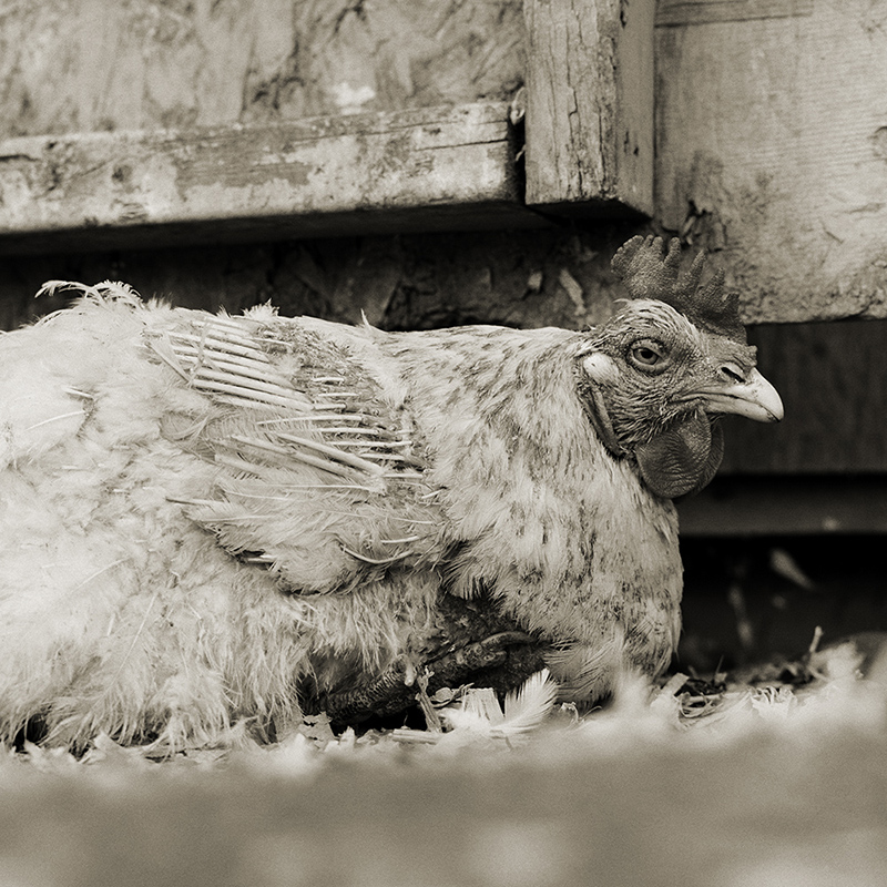 """""""Rooster, Age Unknown"""" from the series Elderly Animals by Isa Leshko (courtesy of the artist)."""