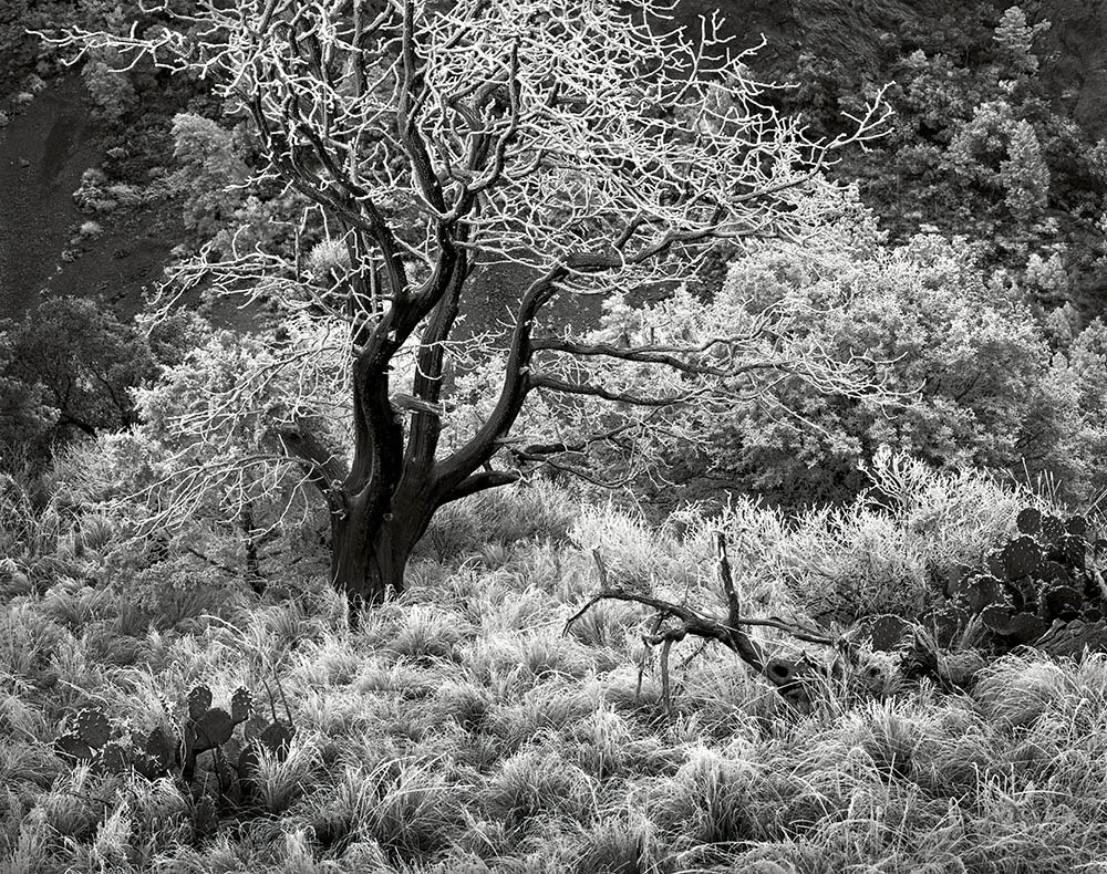 """""""Frost Tree, Big Bend National Park, Texas, 1980"""" from the series Trees by Frank Armstrong (courtesy of the artist and Gallery Kayafas, Boston)."""