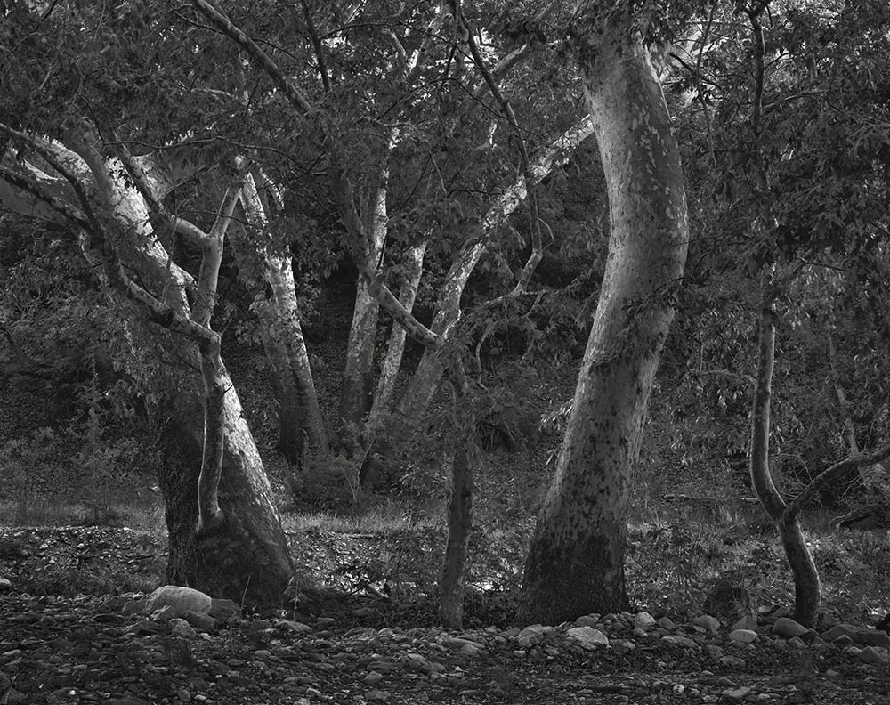 """""""Gila National Forest, New Mexico, 1989"""" from the series Trees by Frank Armstrong (courtesy of the artist and Gallery Kayafas, Boston)."""
