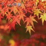 箕面公園の紅葉の見ごろと駐車場の確保方法と近隣のランチ情報
