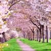 古城公園の桜の開花時期と花見の駐車場情報と時間帯を徹底調査!
