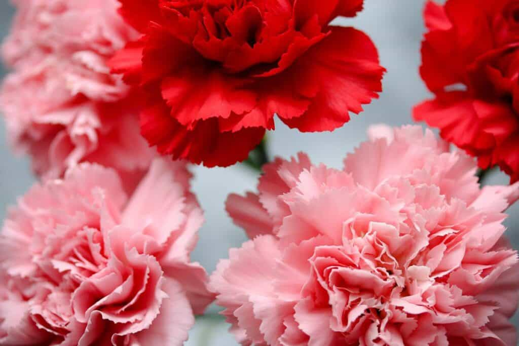 Pink and Red Carnations