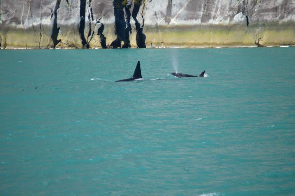 Orcas in Tracy Arm Fjord