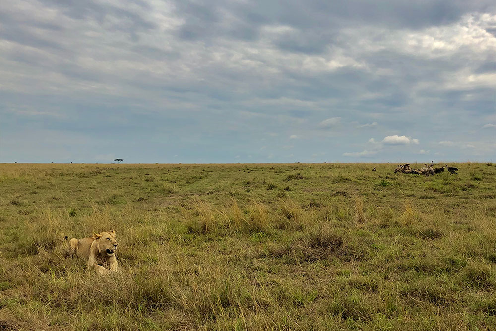 Lion resting after a meal as vultures claim their share.