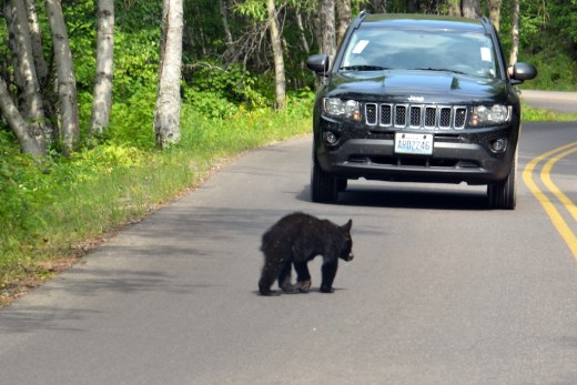 But we did see a bear cub walk across the road! Saw another cub climb a tree across the street and the back end of the mama bear, too.