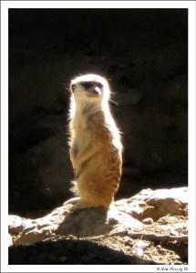 An alert Mircat at the zoo