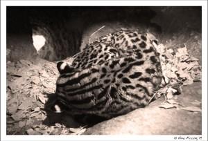 An ocelot asleep in his den