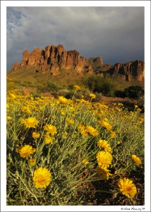 Blooms at Lost Dutchman State Park