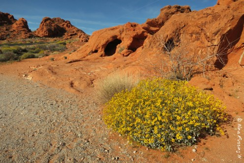 Yellow brittlebush brightens the rock
