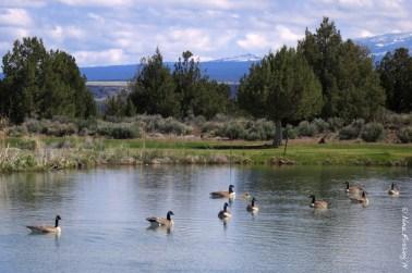 Lake & geese at the 3rd Tee