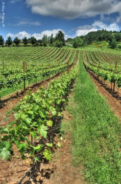 Vineyards at Bryn Mawr