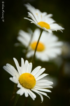 Daisies...delicate and white