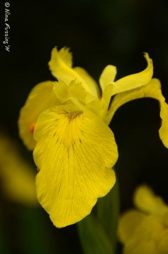 Yellow Iris...brilliantly sensual