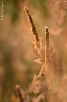 Afternoon light in the grass