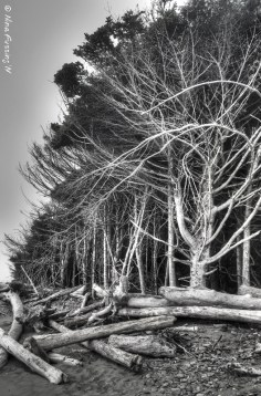 Driftwood & windswept trees at Kalaloch