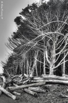 Driftwood & windswept trees at Kalaloch