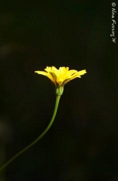 A lonely dandelion seeks the sun