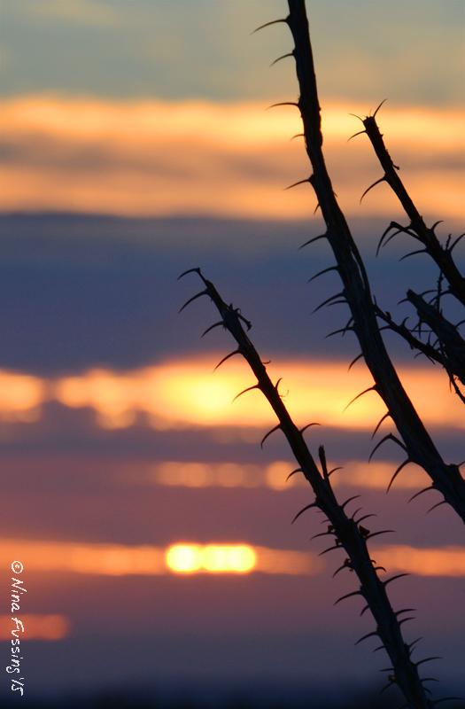 Ocotillo cactus at sunset