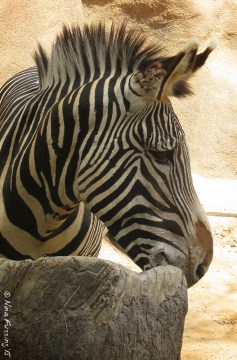 Zebra's always fascinate me