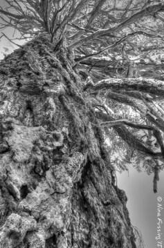 Gorgeous Ponderosa Pine