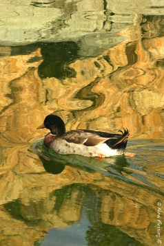 Duck on rock