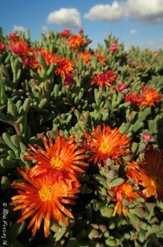 Fiesta Island flowers