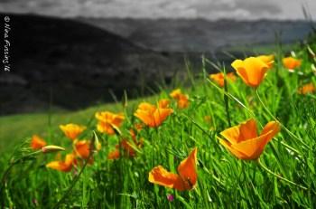 Glorious California Poppies!