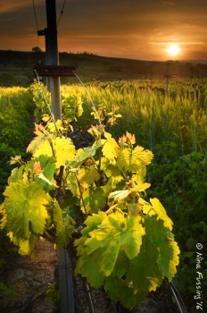 Evening at the vines. Doesn't get much better than this...