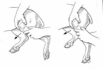 The drawer test in dogs (picture from dogkneeinjury.com)