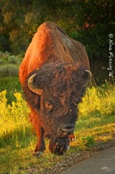 Bison everywhere!