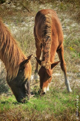 Awww....mama and her colt at Assateague