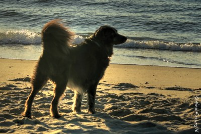 Polly enjoys a pristine AM on Ocracoke Beach