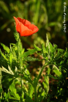 A lone poppy