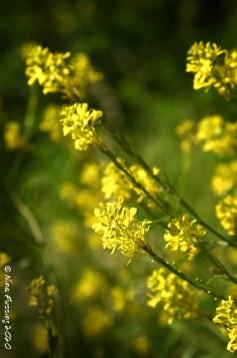 Mustard weeds