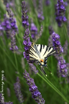 Butterfly on lavender, just for contrast :)