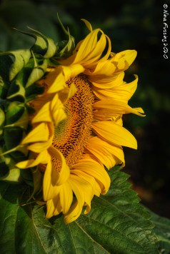 Sunflower heads are actually tons of tiny flowers in one