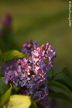 Lilac smells