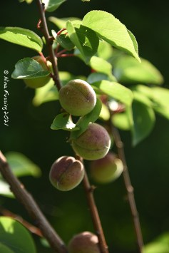 Young apricot