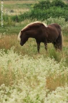 Ærø horses