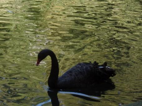 Der schwarze Schwan