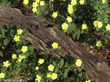 yellow Devil's Thorn Flowers