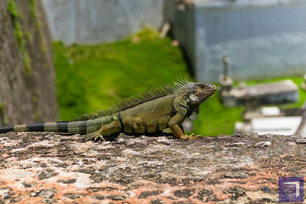 Iguana at Old San Juan Puerto Rico
