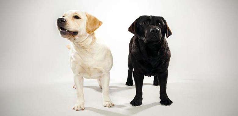 Free Labrador information guide for breeders